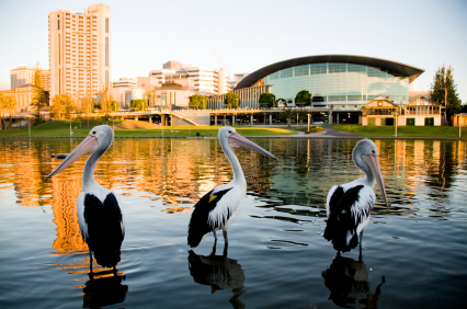 Pelicans and adelaide skyline